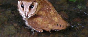 សត្វឪឡក្របី (Oriental Bay Owl)